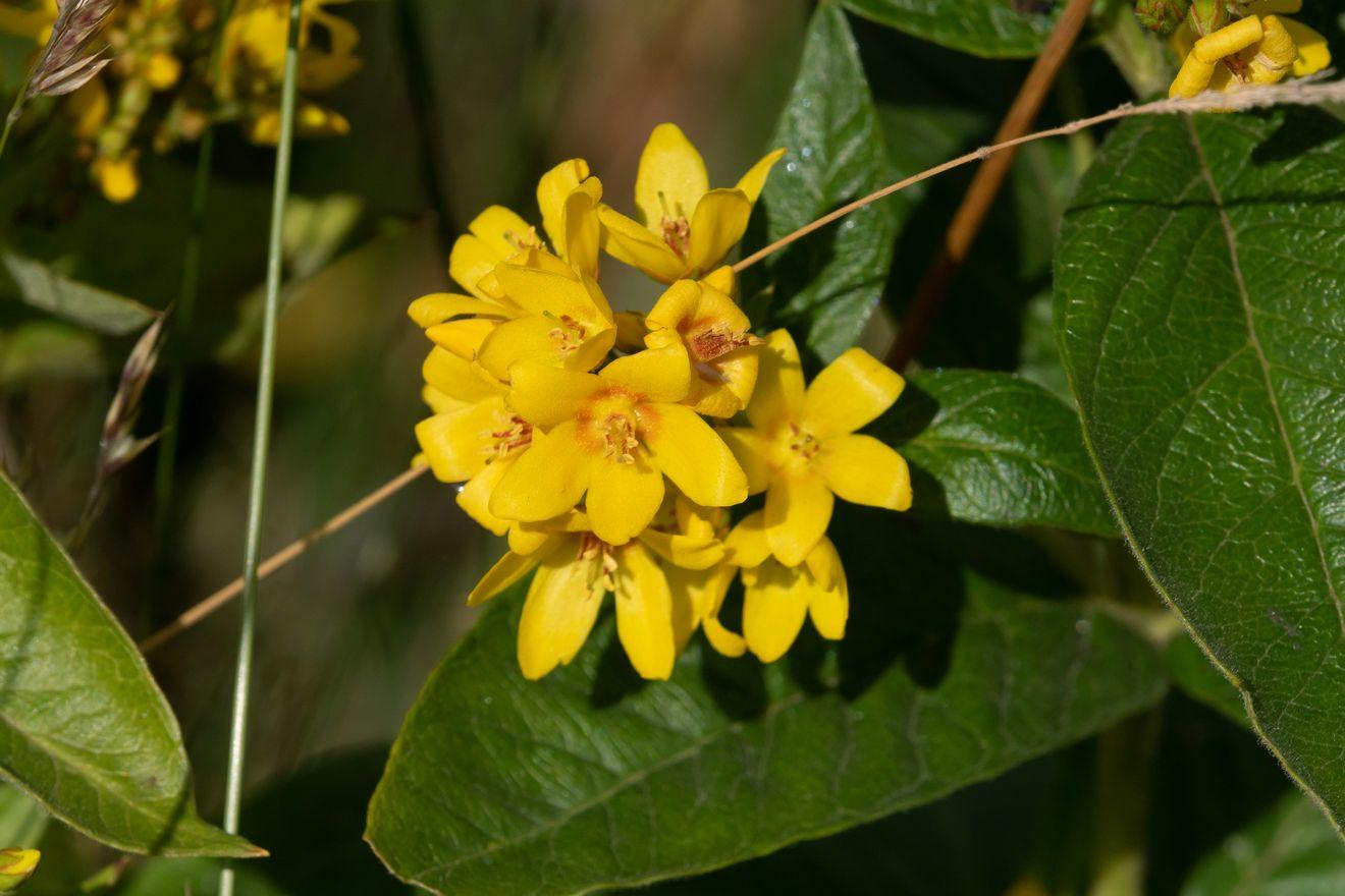 Wederik_Lysimachia vulgaris(2)