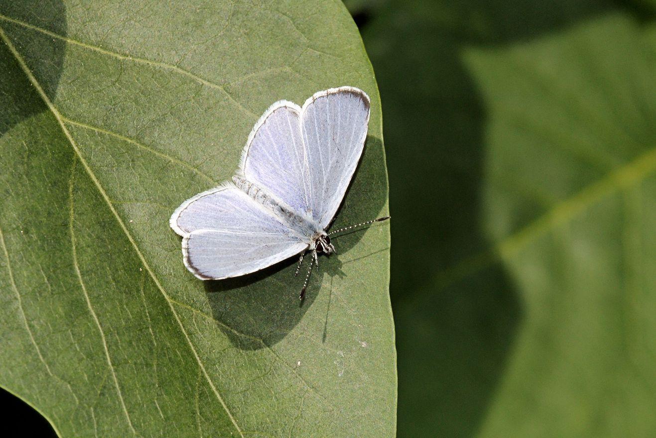 Icarusblauwtje-Polyommatus icarus