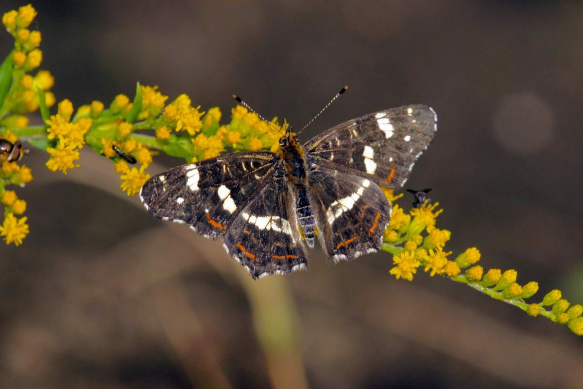 Landkaartje-Araschnia levana (3e generatie)