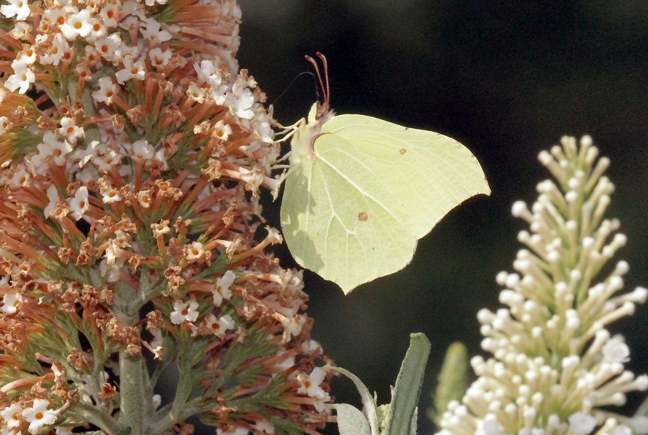 citroenvlinder-Gonepteryx-rhamni.jpg